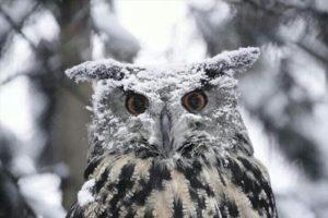 雪がつもるフクロウ