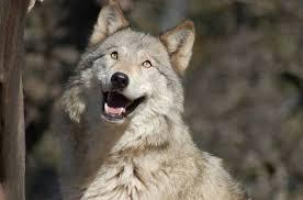 強く凛々しい狼!かわいらしい子狼の高画質な画像まとめ