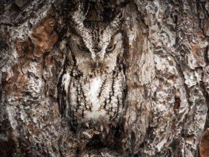 木に溶け込むフクロウ
