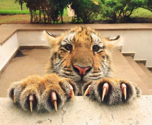 ネコ科最大の動物!虎の親子の高画質な画像まとめ