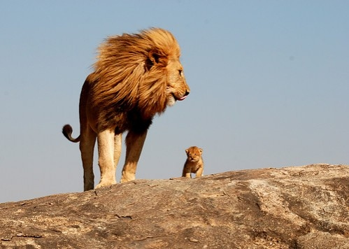 赤ちゃんライオンをみつめるお父さん