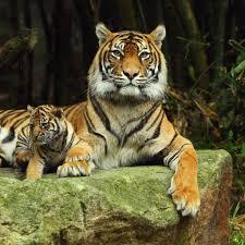 傍らで落ち着いている小虎