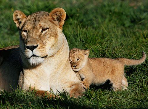 母親にくっついている子ライオン