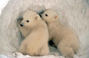 あそぶ白熊の子供