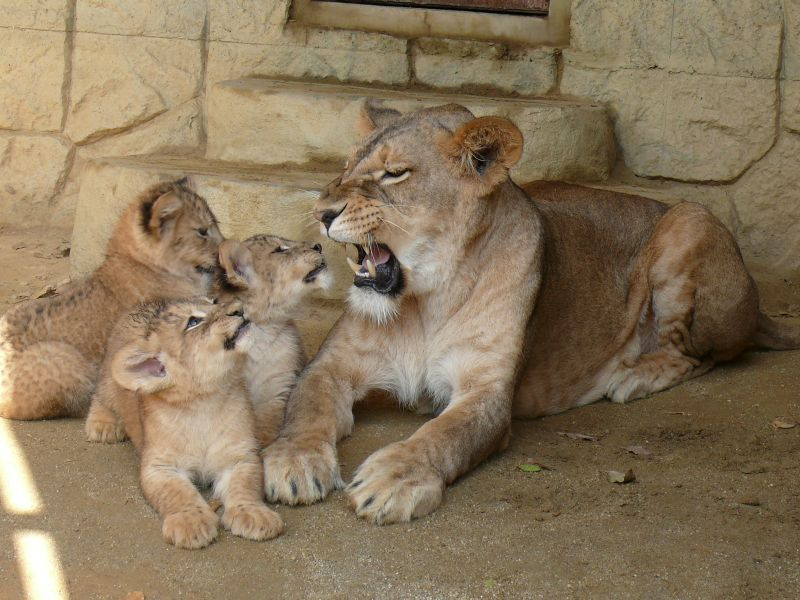 お母さんを見つめる子ライオン