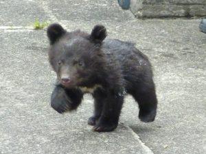 歩いている子熊
