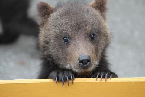こちらをのぞく子熊