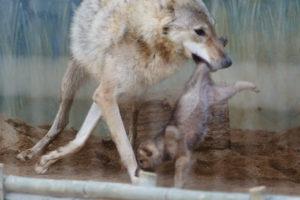 足をくわえられる子狼