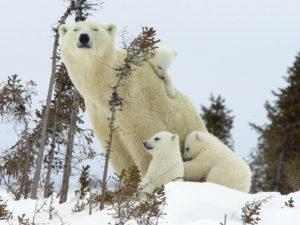 仲良しの白熊の親子