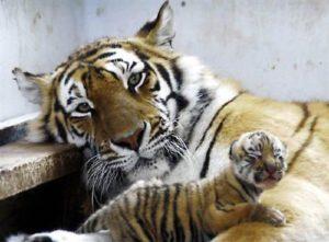 目のあいていない赤ちゃん虎