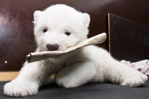 白熊のあかちゃん