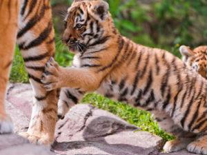 足につかまる小虎