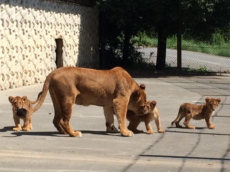 散歩するライオン親子