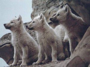 遠くをみつめる子狼