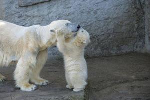 親にしがみつく白熊の子供
