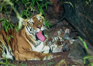 親の横で戯れる小虎