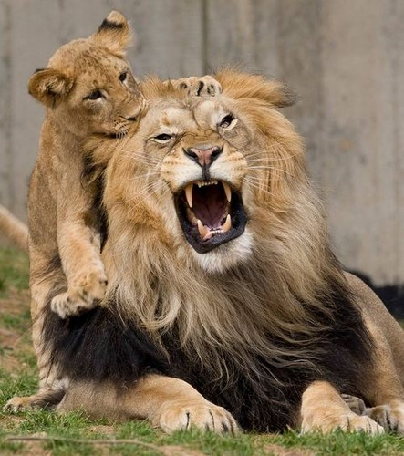 お父さんにのぼる子ライオン