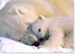 顔をくっつける白熊の親子