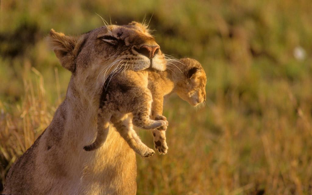 しっかりくわえられる子ライオン