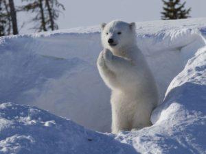 両手をあわせる白熊