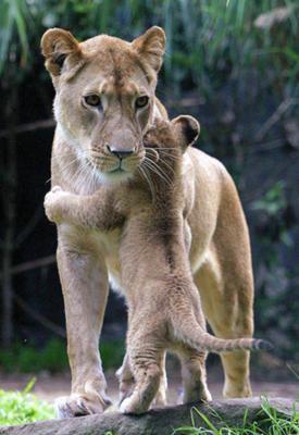 お母さんに抱き着く子供ライオン