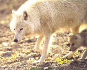 親についていく子狼
