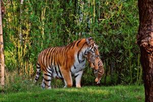 森の中の虎親子