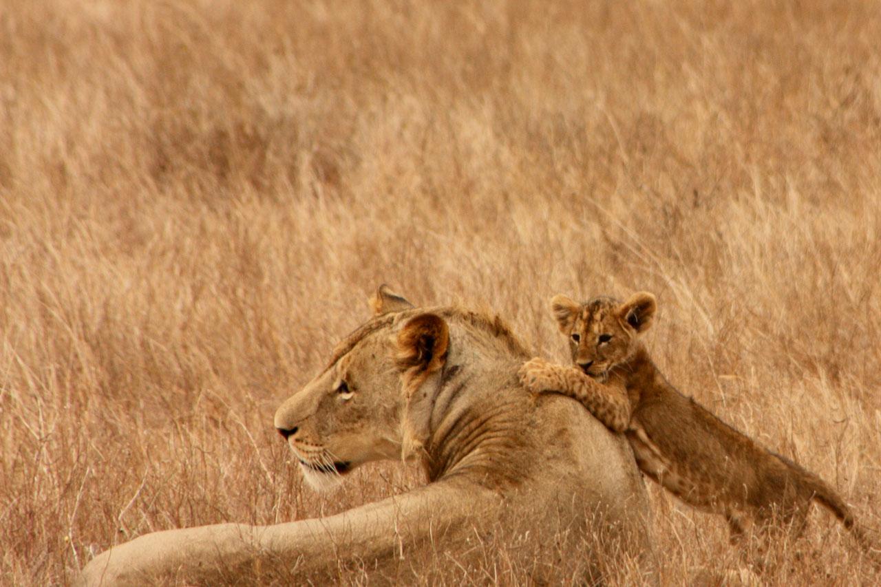 親に甘える子ライオン