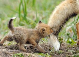 しっぽにじゃれる子狼