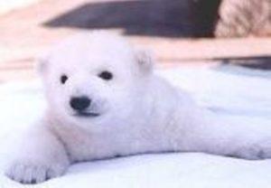 真っ白な子熊