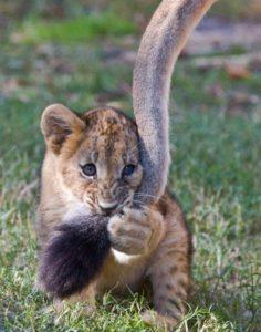 しっぽにじゃれる小虎