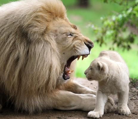 父親の口の中をみる子ライオン