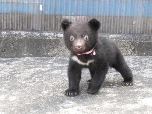 こちらをみつめる子熊