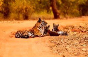 寝そべる虎の親子
