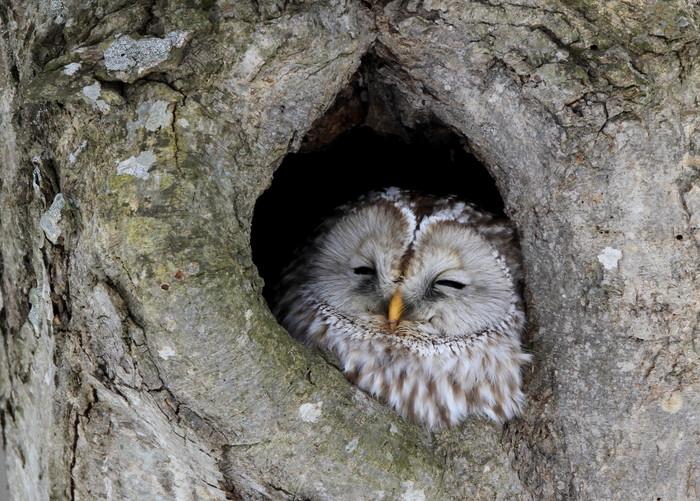 木の中で眠るフクロウ