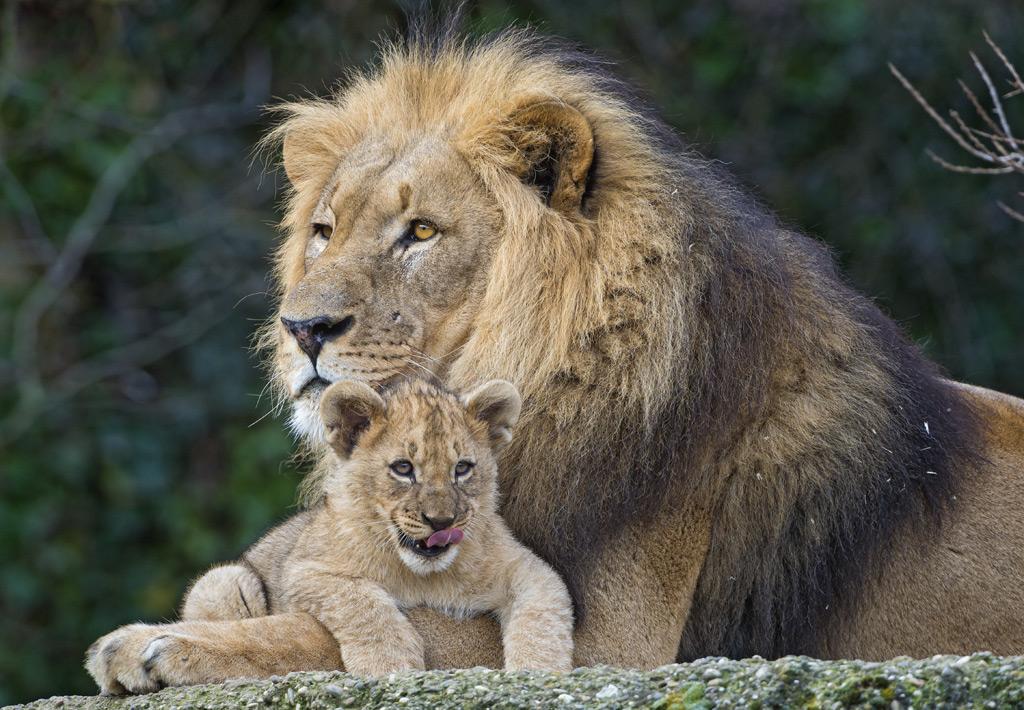 腕の中にいる子ライオン