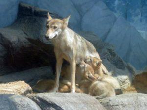 食事中の狼の子供たち