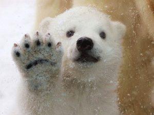 手を出す白熊