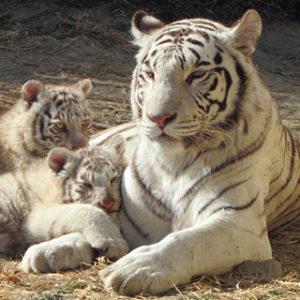 腕枕される小虎