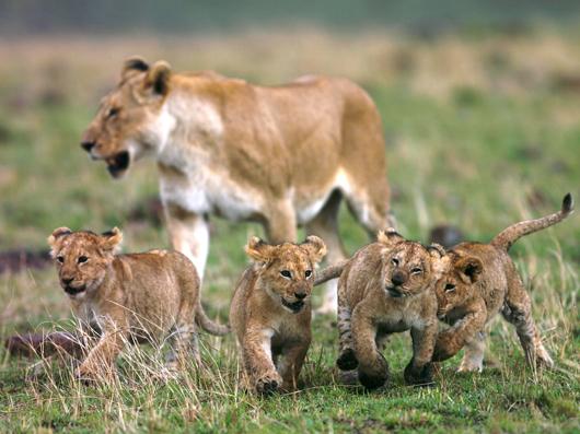 4匹の子ライオン
