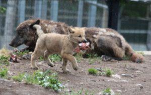 お肉をくわえる子狼