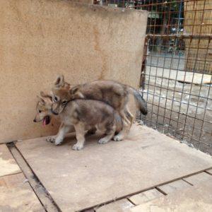 背中にのしかかる子狼