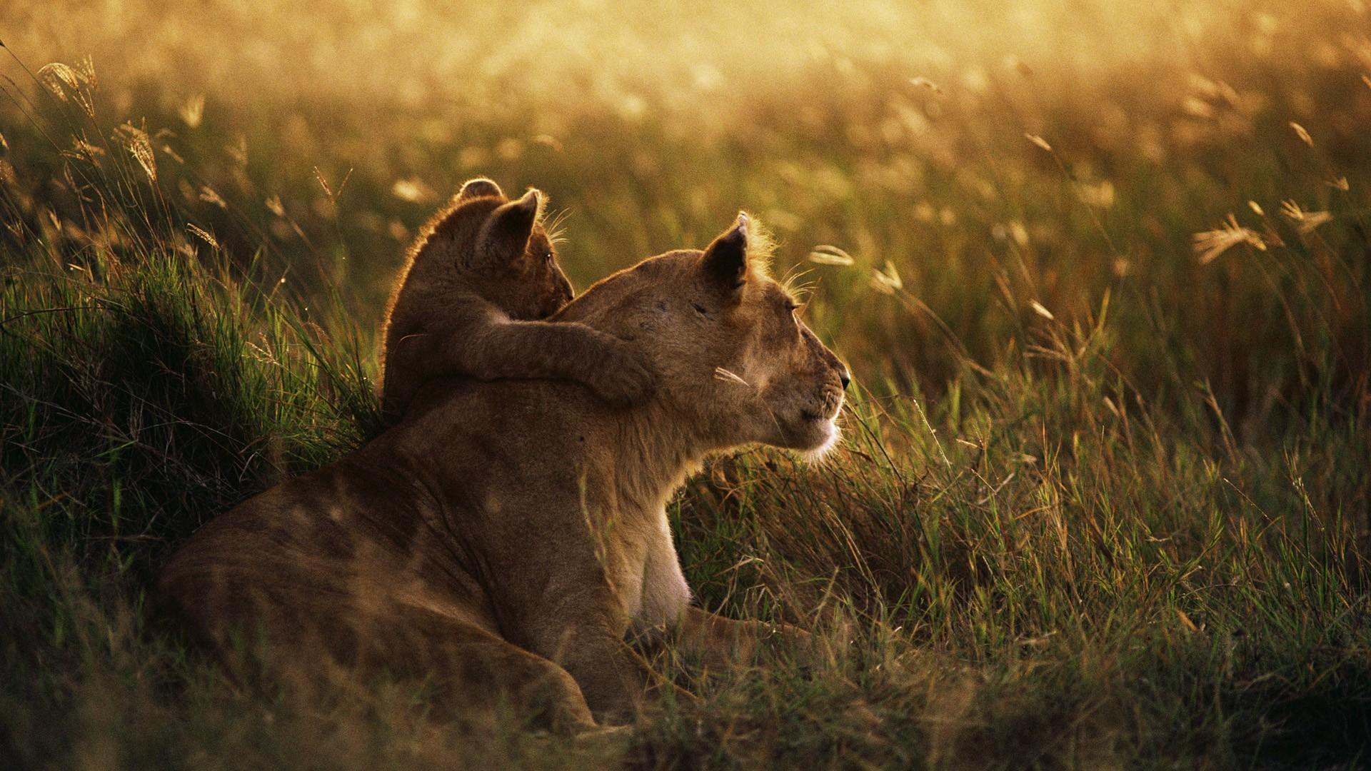 夕焼けのライオン親子