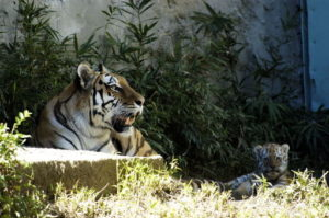そばでくつろぐ虎の親子