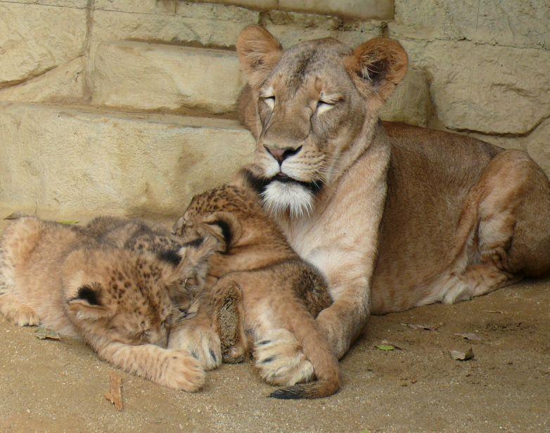 まったりするライオン親子
