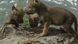 探検している子狼