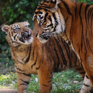 親の顔を見る小虎