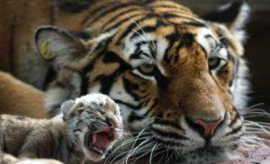 鳴く赤ちゃん虎