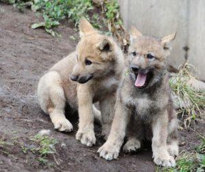 2匹寄り添う子狼