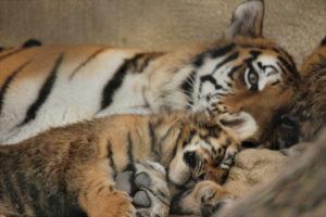 一緒に横たわる虎親子